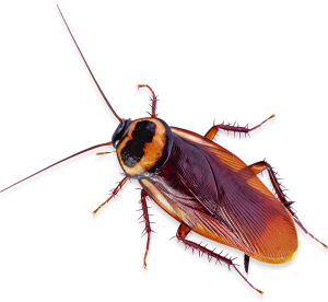 Cockroach Control Treatments San Diego, CA | San Diego Pest Control | San Diego Pest Management