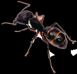 San Diego Ant Control | San Diego Pest Management