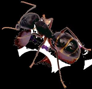 San Diego Pest Management | Ant Control | San Diego ant control near me