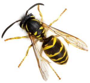 Yellow Jacket Control San Diego, CA | Bee Removal and Stinging Insect Control San Diego, CA