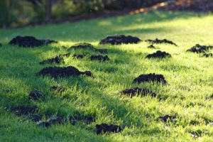 Gopher Trapping - San Diego Pest Management