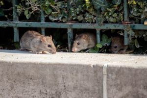 Rodent Control San Diego, CA | Rat and mice control San Diego, CA | San Diego Pest Management