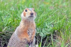 Squirrel control from San Diego Pest Management. We use trapping methods that are safe for your children and pets.