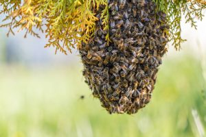 Bee Swarm Removal San Diego, CA | Bee Removal San Diego, CA | San Diego Pest Management