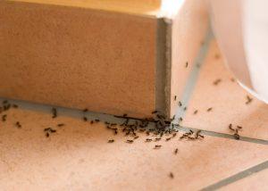 Ant Control San Diego, CA | San Diego Pest Management