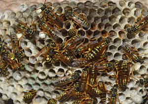 Yellow Jacket Control San Diego, CA | Bee and Wasp Removal San Diego, CA | San Diego Pest Management