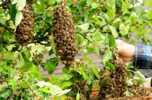 Bee Swarm Removal San Diego, CA | San Diego Pest Management