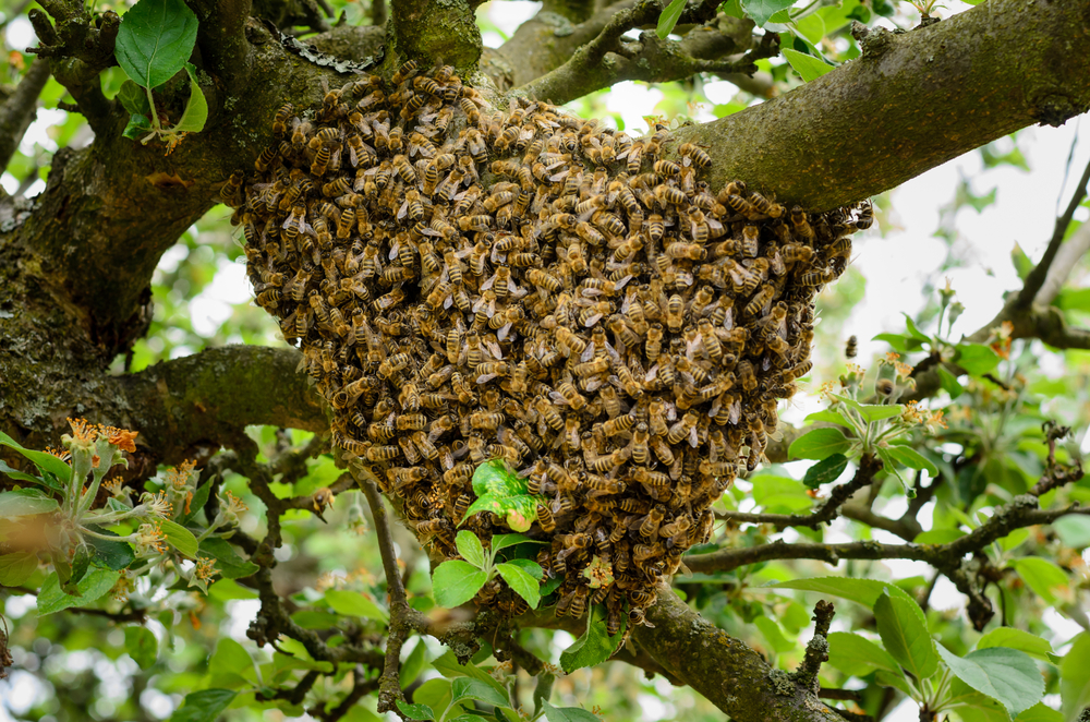 Bee Removal San Diego | Bee swarm removal San Diego | San Diego Pest Management | Bee Control San Diego