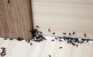 Ant Control San Diego, CA | Ant treatment San Diego, CA | San Diego Pest Management