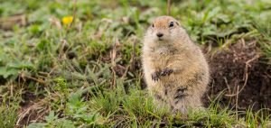Gopher Trapping and Control San Diego, CA | San Diego Pest Management