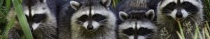 Raccoon Trapping San Diego, CA | San Diego Pest Management