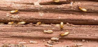 Subterrainean Termites
