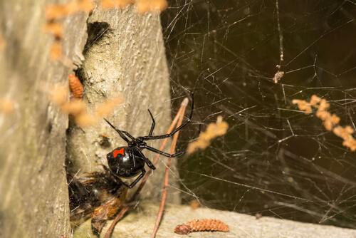 Spider Control San Diego, CA | Black Widows - Stellar Spiders - Wolf Spiders